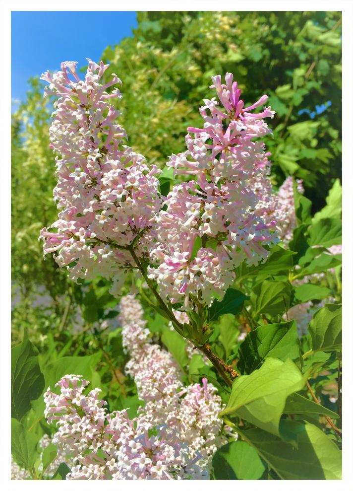 New Lilacs