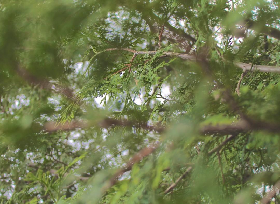 The scent of cedar