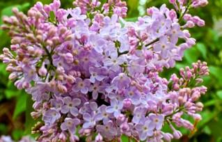33 Gentle Purples