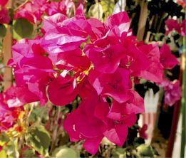 9-R-Desert Pink
