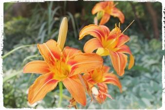 Dragon Lily